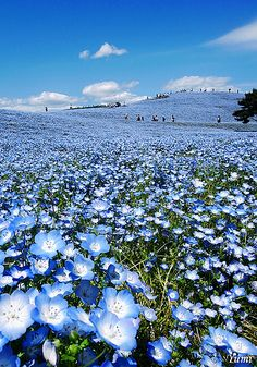 Blue Hill (Nemophila) Hitachi Seaside Park, Hitachinaka, Ibaraki, Japan. Visit in April-May when the flowers are in bloom.