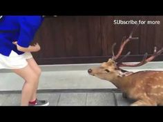 Deery deery me! Antler clad creature bows down when given food