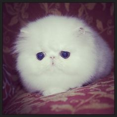 Persian kittens http://instagram.com/p/rNGHpQPEu5/