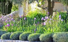 Mediterranean style planting with a border of bearded irises & lavender