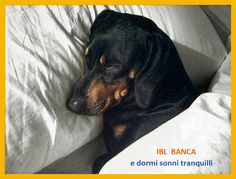 Otto takes part in the IBL online competition. #sausagedog #dachshund #bassotto #ottolino #iblbanca #webcontest