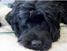 Image result for portuguese water dog straight hair Portuguese Water Dog, Puppy Love, Straight Hairstyles, Dog Lovers, Puppies, Dog Drawings, View Source, Image, Roxy
