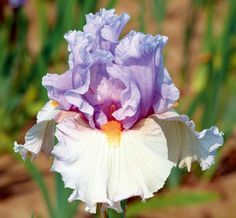 """Belgian Princess Type: Tall Bearded (TB) Style: Reverse Amoena  Height: 39"""" Color: Lavender and Pink  Originator: Johnson, Tom Year: 2005 Bl..."""