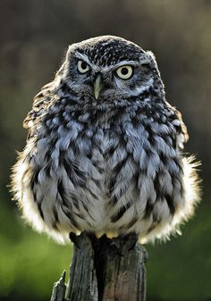 Little Owl by Phillip F. Higgins