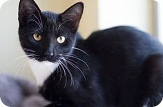 Pictures of Jasper a Domestic Shorthair for adoption in Dallas, TX who needs a loving home.