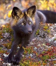 "Silver fox: have been called the ""king of the fur-bearing animals"" due to the popularity of their pelts throughout history.    The silver fox has black coloring and varying degrees of silver streaks. Its fur is so beautiful that the animal has been hunted for centuries because of this attractive feature. Photographed in Canada's Yukon Territory"