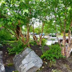 Native Garden – Creative Landscapes, Inc. Landscape Design Small, Creative Landscape, Tropical Plants, Nativity, Woodland, Garden Design, Landscapes, Gardening, Paisajes