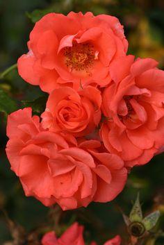 'Marmalade Skies'   Floribunda Rose. Alain Meilland (France, 1999).   Flickr - © Photo Patty