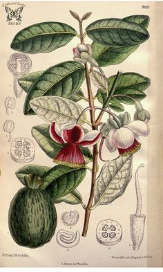 Acca sellowiana (O. Berg) Burret] [as Feijoa sellowiana (O. Berg) O. Berg] / Curtis's Botanical Magazine, vol. 7620 [M. Pineapple Guava Tree, Pineapple Planting, Botanical Drawings, Botanical Prints, Fruit Tattoo, Nature Illustration, Art Illustrations, Fruit Painting, Plant Drawing