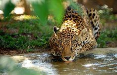 Un giaguaro si disseta all'interno della riserva «Petro Velho», gestita dall'organizzazione non governativa «NEX» a Corumba de Goias, a circa 80 km da Brasilia. Nex, una ONG dedicata alla salvaguardia e alla difesa dei grossi felini brasiliani a rischio estinzione, gestisce uno spazio nello stato di Goias che accoglie animali che non possono ritornare allo stato libero provenienti da tutto il paese  (Afp/Evaristo Sa)