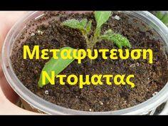 Μεταφύτευση Ντομάτας - YouTube Youtube, Youtubers, Youtube Movies