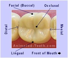 A picture showing the dental surfaces of a molar tooth.