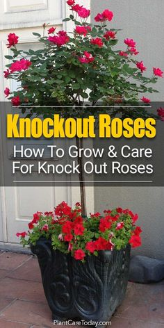 Knockout Roses Care: How To Care For Knock Out Roses. Did you know that Knockout Rose care is so easy, many believe the Knock Out helped save the popularity of roses?