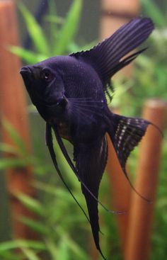 black angelfish http://www.americanaquariumproducts.com/