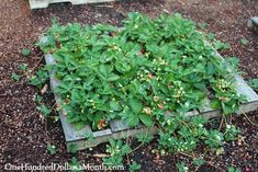 Strawberries growing in a wood pallet garden
