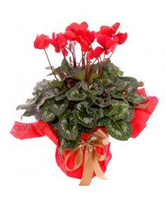 Υπέροχα Άνθη Κυκλάμινου