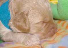 Puppy Breath!  Australian Labradoodle Puppy 2 weeks old