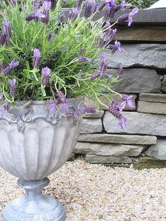 Lavender - so important to get the right plant, both size and ability to thrive, in an urn.