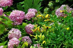 La chaleur exceptionnelle de juillet a donné des ailes à la clématire Golden Tiara qui s'en est allée conter fleurette à l'hydrangea Endless Summer.