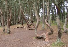 Танцующий лес. Куршская коса. Crooked Forest, Pine Tree, Plants, Pine, Plant, Planets