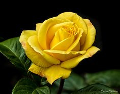 All sizes | The yellow rose of Texas .... possibly | Flickr - Photo Sharing!