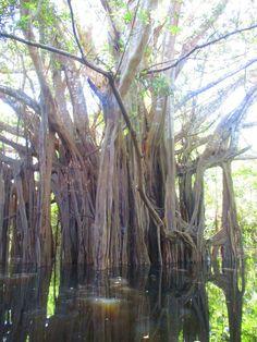"El árbol ""El caminante""- Selva inundada- Lagos de Yahuarcaca- Amazonas- Colombia Trees To Plant, Landscapes, Nature, Lakes, Wayfarer, Beautiful Places, Scenery, Paisajes, Naturaleza"