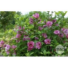Hibiscus syriacus : ctr 4 litres