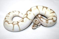 Nuclear Enchi Bee Ball Python
