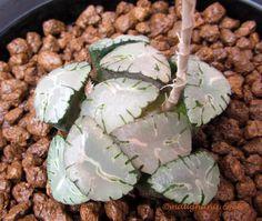 Haworthia maughanii seedling