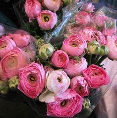 Pink Ranunculus @ Highlight Imports