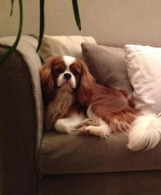 Cavalier King Charles Spaniel enjoy the lounge! #CavalierKingCharlesSpaniel