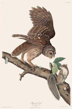 John James Audubon (1785-1851) - Barred Owl