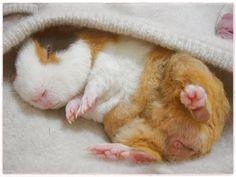 A very young guine pig fast asleep...