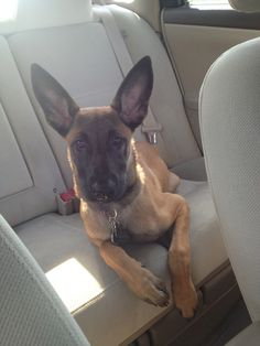 All ears! Belgian Malinois. Khaleesi loves going to the park!