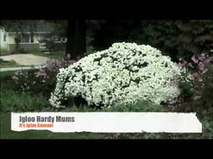 Garden & Igloo Mums | Dayton Nursery Bright Flowers, Fall Flowers, Garden Igloo, Hardy Mums, Garden Tips, Green Leaves, Nursery, Outdoors, Gardening