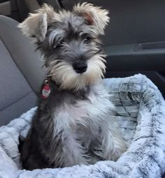 Miniature Schnauzer puppy cutie pie