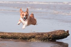 12 Corgis Totally Defying The Laws Of Physics