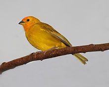 Saffron Finch 30.JPG