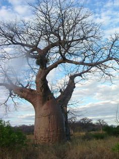 a beautiful baobab tree Le Baobab, Baobab Tree, Heritage Center, Thinking Day, Romantic Vacations, Big Tree, List, Places Around The World, World Heritage Sites