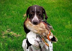 Check out How to Train a Hunting Dog To Retrieve | Duck Hunt Dog at http://pioneersettler.com/train-a-hunting-dog-to-retrieve/