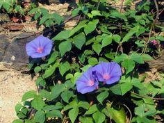 Plantas de poca agua (Primera parte) | Campanilla Planta rastrera