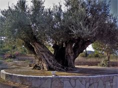 Olivenbaum Fotos & Bilder auf fotocommunity Plants, Pictures, Morning Light, Olive Tree, Old Trees, New Day, Andalusia, Lake Garda, Tuscany