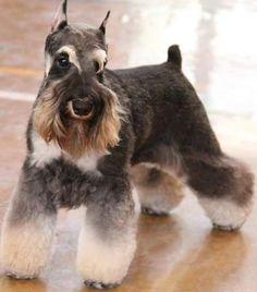 Schnauzer Grooming, Mini Schnauzer Puppies, Miniature Schnauzer, Schnauzers, Pet Grooming, Dog Pin, Small Dogs, German, Death