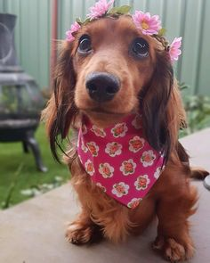 """Explore our website for even more details on """"Dachshund dogs"""". It is a great spot to get more information. Dachshund Breed, Long Haired Dachshund, Mini Dachshund, Daschund, Dapple Dachshund, Cute Puppies, Cute Dogs, Doxie Puppies, Clever Dog"""