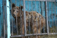 Left to rot: One of the starving bears who has been abandoned inside the world's worst zoo...