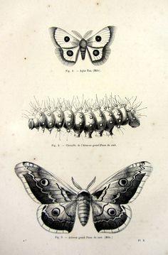1860 antique original moths caterpillar by LyraNebulaPrints, $24.95 Butterfly Project, Butterfly Art, Butterflies, Papillon Butterfly, Vintage Butterfly, Dream Tattoos, Body Art Tattoos, Nocturne, Bee Wings