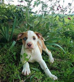 Listing Puppy for Sale Blue Blood Bulldog, Bulldog Puppies For Sale, Different Dogs, Blue Bloods, Country Life, Gender Female, Pennsylvania, Dog Breeds, Pitbulls
