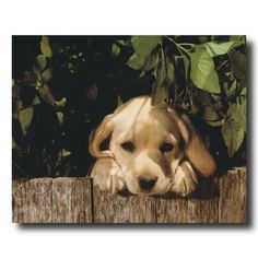 Yellow Lab Puppy Dog Looking Over Fence