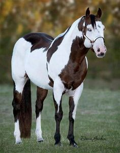 The American Paint Horse is a breed of horse that combines both the conformational characteristics of a western stock horse with a pinto spotting pattern of white and dark coat colors. Description from imgarcade.com. I searched for this on bing.com/images