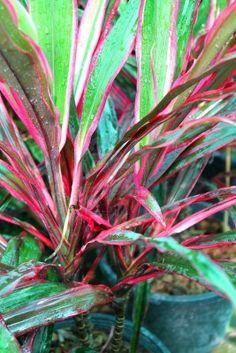 Ribbon plant- Dracaena sanderana | Outdoor Tropical Plants ...